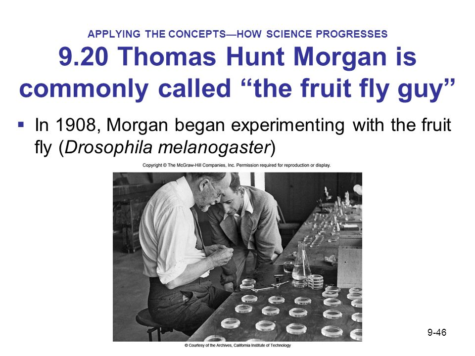 APPLYING THE CONCEPTSHOW SCIENCE PROGRESSES 9.20 Thomas Hunt Morgan is commonly called the fruit fly guy In 1908, Morgan began experimenting with the