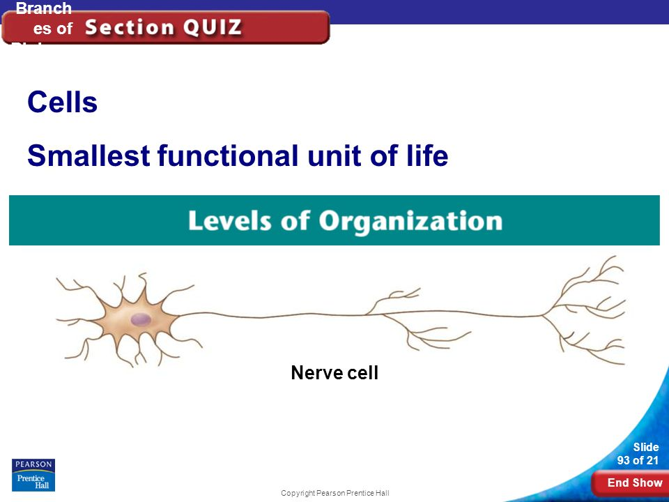 End Show Slide 93 of 21 Copyright Pearson Prentice Hall Branch es of Biology Cells Smallest functional unit of life Nerve cell