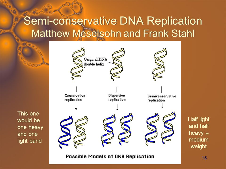 15 Semi-conservative DNA Replication Matthew Meselsohn and Frank Stahl Half light and half heavy = medium weight This one would be one heavy and one l