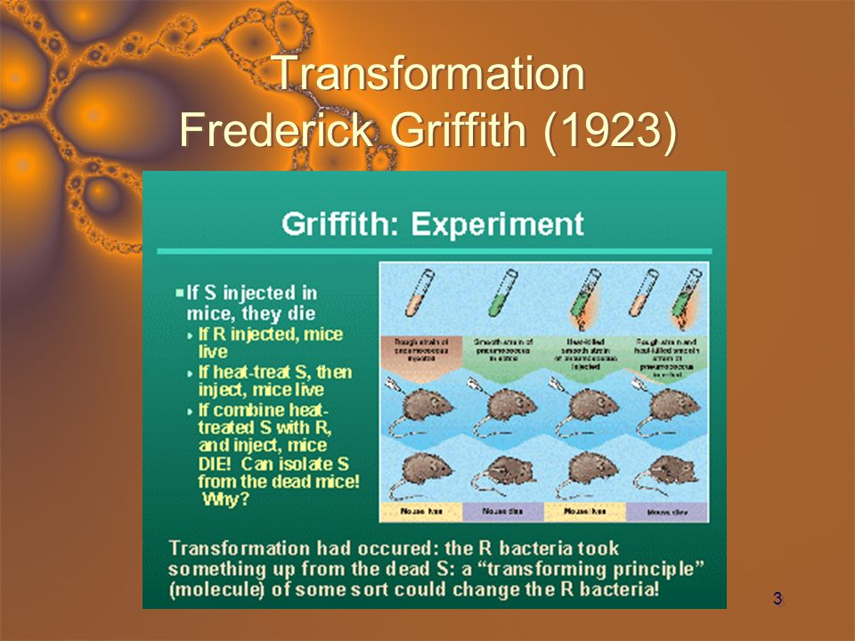 4 Transformation II Avery, McCarty, Macleod (1944) Repeated Griffiths work, but knew that DNA was the substance of transformation Separated classes molecules from s cell debris Tested each fraction for transforming ability, one at a time Only DNA transformed r cells into s cells To provide r cells with s DNA is to provide r cells with s genes Repeated Griffiths work, but knew that DNA was the substance of transformation Separated classes molecules from s cell debris Tested each fraction for transforming ability, one at a time Only DNA transformed r cells into s cells To provide r cells with s DNA is to provide r cells with s genes Think re-mix of Griffith