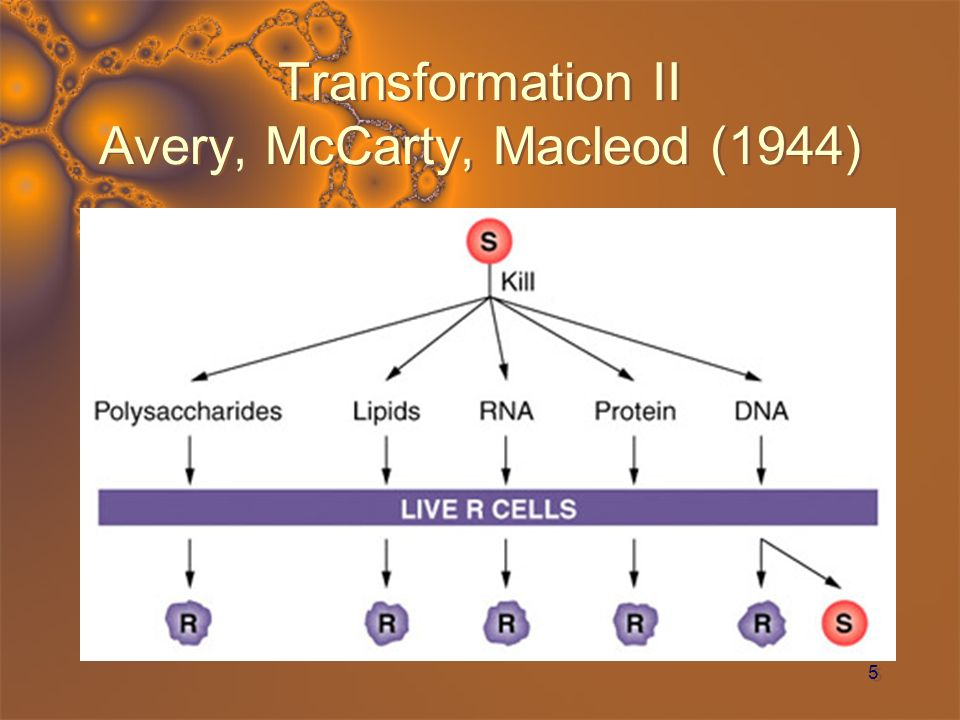 16 Discontinuous DNA Replication Reiji Okazaki He knew about DNA polymerase It moves from 5 to 3 only on the leading strand He searched for a second polymerase that worked in the reverse direction After unsuccessfully searching he used his brilliance Found numerous small fragments and also long segments as DNA was replicated Finally decided that the short segments were from the lagging strand * DNA polymerase worked on both sides continuously on the leading strand and in several places on the lagging strand DNA ligase connects the small portions (now called Okazaki fragments) * on the lagging strand He knew about DNA polymerase It moves from 5 to 3 only on the leading strand He searched for a second polymerase that worked in the reverse direction After unsuccessfully searching he used his brilliance Found numerous small fragments and also long segments as DNA was replicated Finally decided that the short segments were from the lagging strand * DNA polymerase worked on both sides continuously on the leading strand and in several places on the lagging strand DNA ligase connects the small portions (now called Okazaki fragments) * on the lagging strand