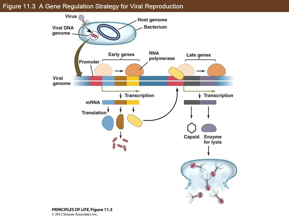 Concept 11.1 Several Strategies Are Used to Regulate Gene Expression Human immunodeficiency virus (HIV) is a retrovirus with single-stranded RNA.