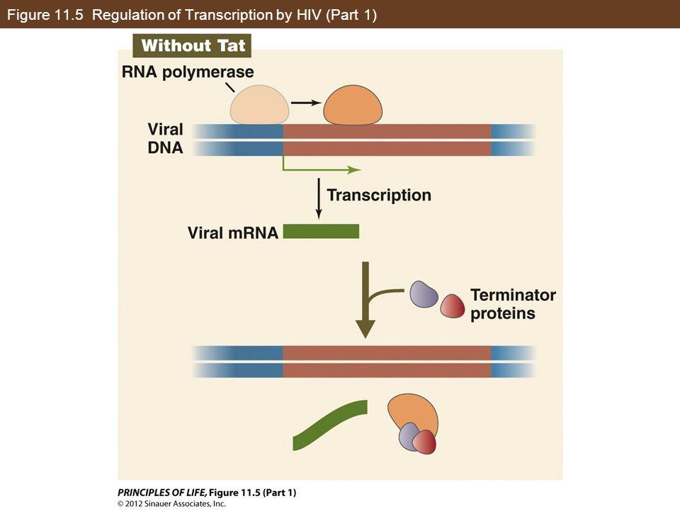 Figure 11.5 Regulation of Transcription by HIV (Part 2)