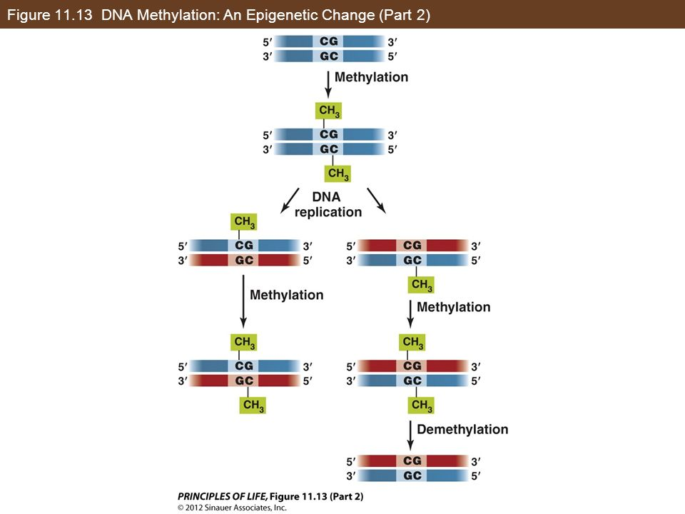 Concept 11.3 Eukaryotic Genes Are Regulated by Transcription Factors and DNA Changes This covalent change in DNA is heritable: When DNA replicates, a maintenance methylase catalyzes formation of 5- methylcytosine in the new strand.
