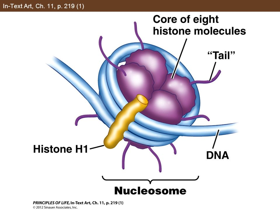 Concept 11.3 Eukaryotic Genes Are Regulated by Transcription Factors and DNA Changes The change in charge opens up the nucleosomes as histone loses its affinity for DNA.