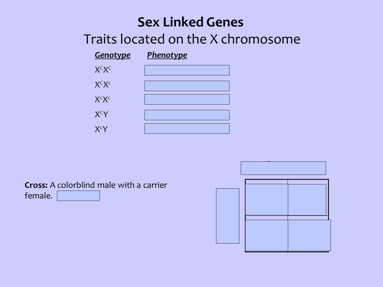 Sex Linked Genes Traits located on the X chromosome Genotype Phenotype X C X C Normal Female X C X c Carrier Female X c X c Colorblind Female X C YNormal Male X c YColorblind Male X c Y XCXcXCXc Cross: A colorblind male with a carrier female.
