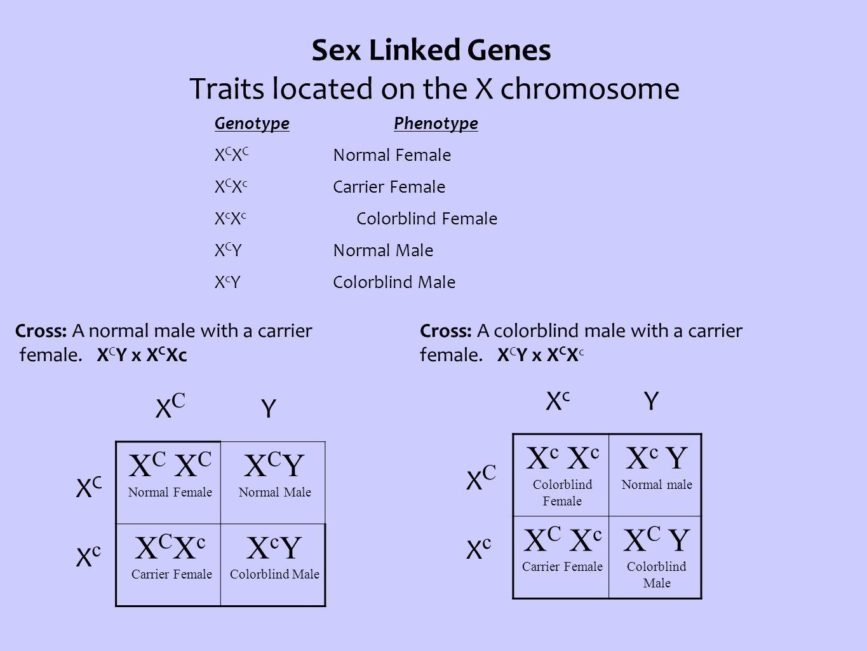 Sex Linked Genes Traits located on the X chromosome Genotype Phenotype X C X C Normal Female X C X c Carrier Female X c X c Colorblind Female X C YNormal Male X c YColorblind Male Cross: A normal male with a carrier female.