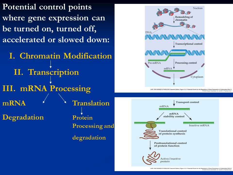 Potential control points where gene expression can be turned on, turned off, accelerated or slowed down: I. Chromatin Modification II. Transcription I