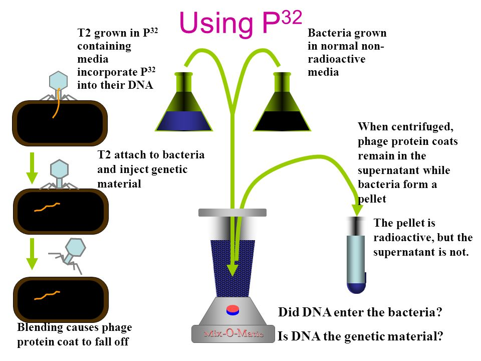Using S 35 Bacteria grown in normal non- radioactive media T 2 grown in media containing S 35 incorporate S 35 into their proteins Blending causes pha