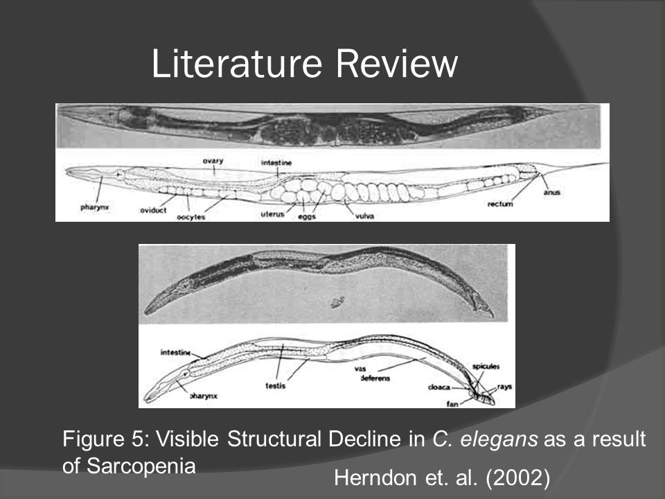Literature Review Figure 5: Visible Structural Decline in C. elegans as a result of Sarcopenia Herndon et. al. (2002)