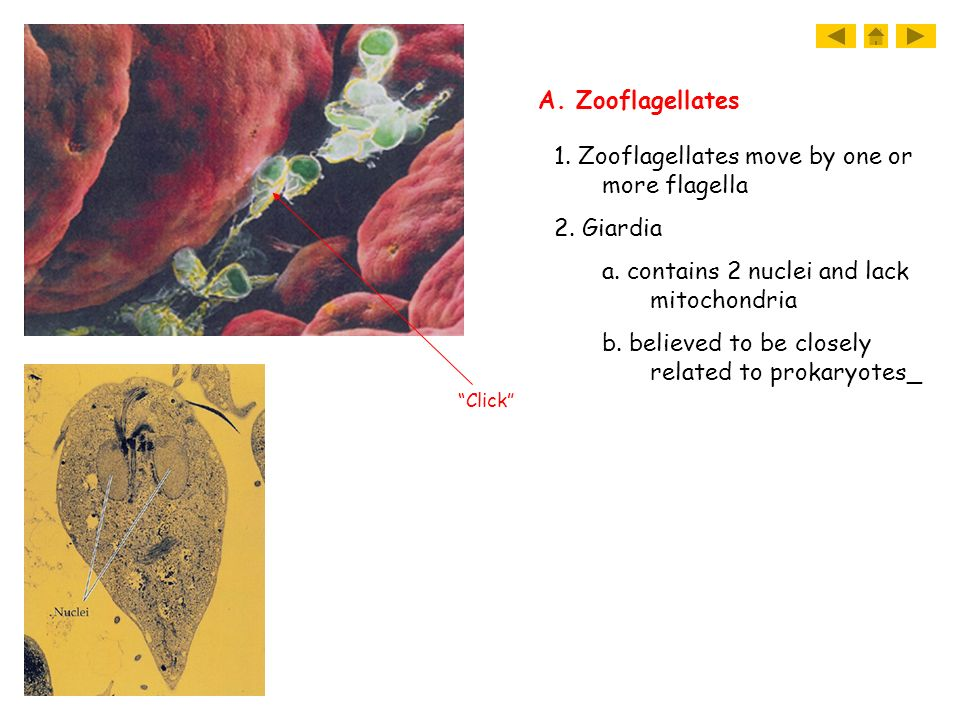 1. Zooflagellates move by one or more flagella 2. Giardia a. contains 2 nuclei and lack mitochondria b. believed to be closely related to prokaryotes_