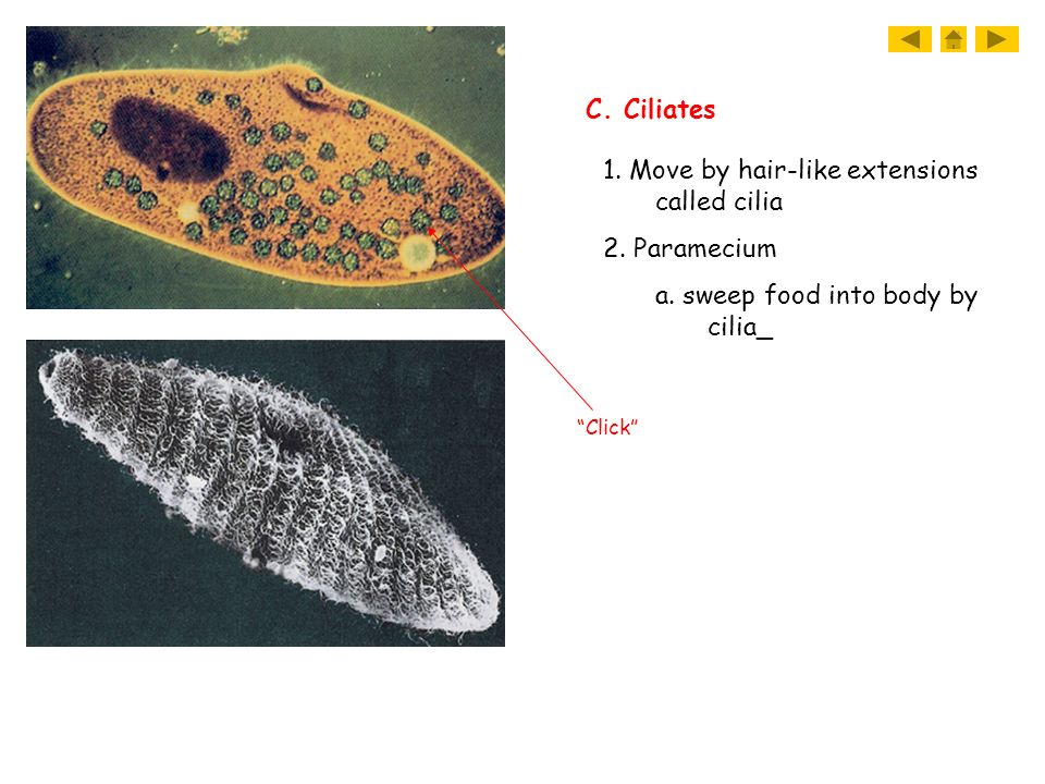 1. Move by hair-like extensions called cilia 2. Paramecium a. sweep food into body by cilia_ C. Ciliates Click