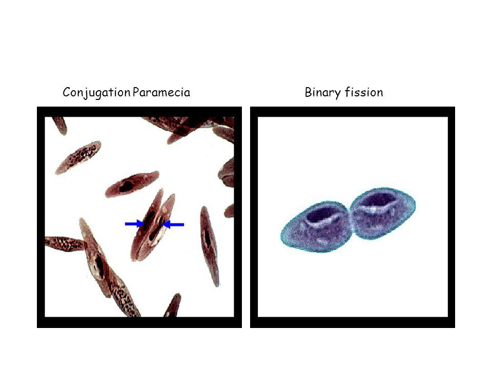 Conjugation ParameciaBinary fission