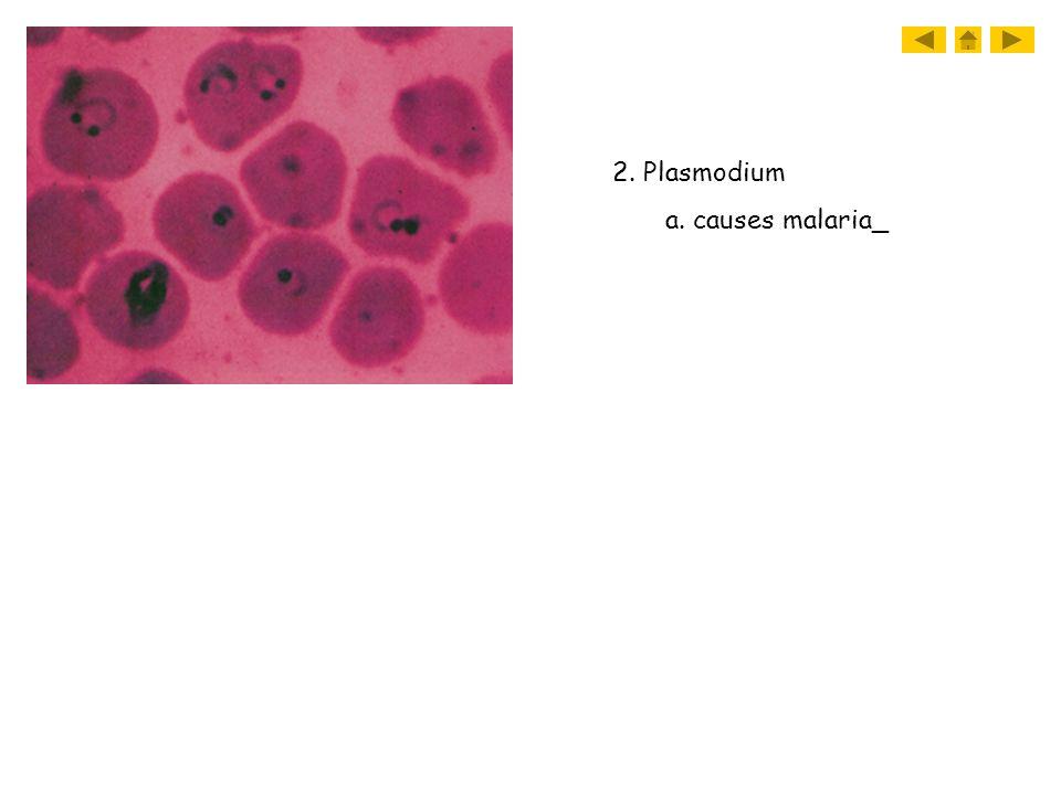 2. Plasmodium a. causes malaria_