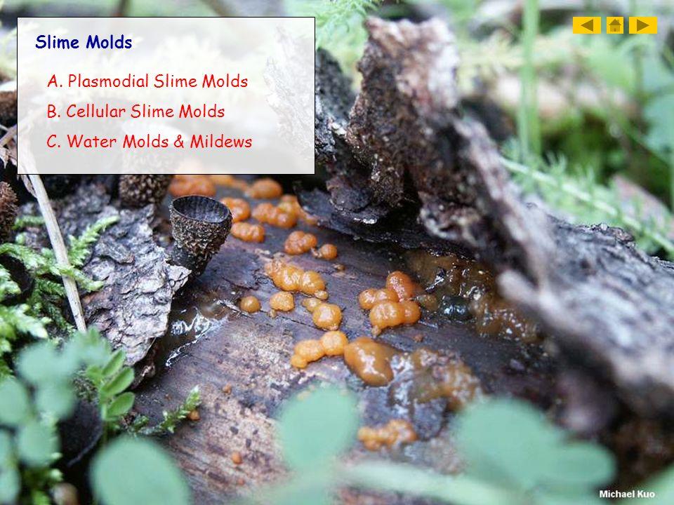 Slime Molds A. Plasmodial Slime Molds B. Cellular Slime Molds C. Water Molds & Mildews