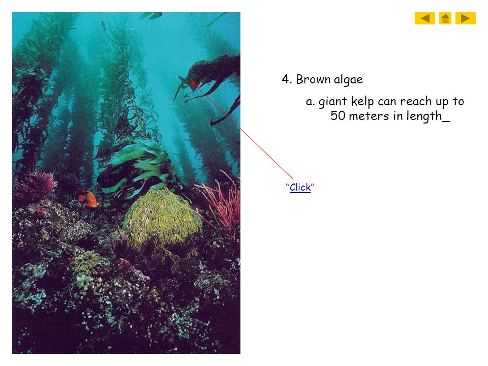 4. Brown algae a. giant kelp can reach up to 50 meters in length_ Click