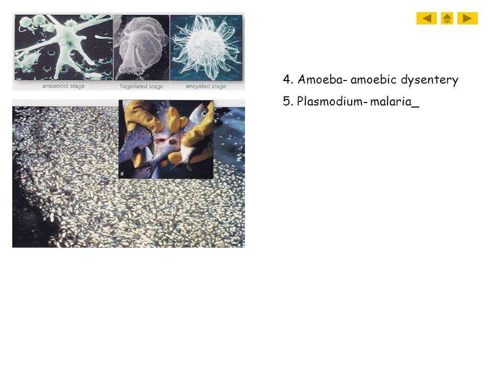 4. Amoeba- amoebic dysentery 5. Plasmodium- malaria_