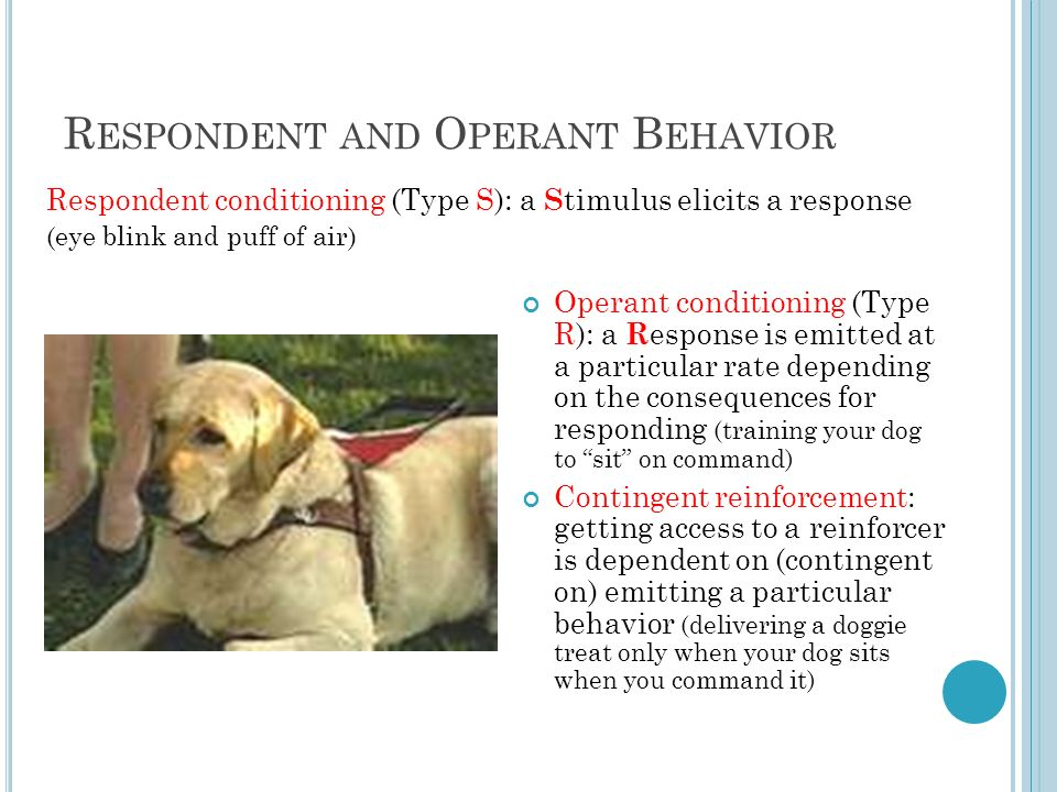 R ESPONDENT AND O PERANT B EHAVIOR Operant conditioning (Type R): a R esponse is emitted at a particular rate depending on the consequences for responding (training your dog to sit on command) Contingent reinforcement: getting access to a reinforcer is dependent on (contingent on) emitting a particular behavior (delivering a doggie treat only when your dog sits when you command it) Respondent conditioning (Type S): a S timulus elicits a response (eye blink and puff of air)