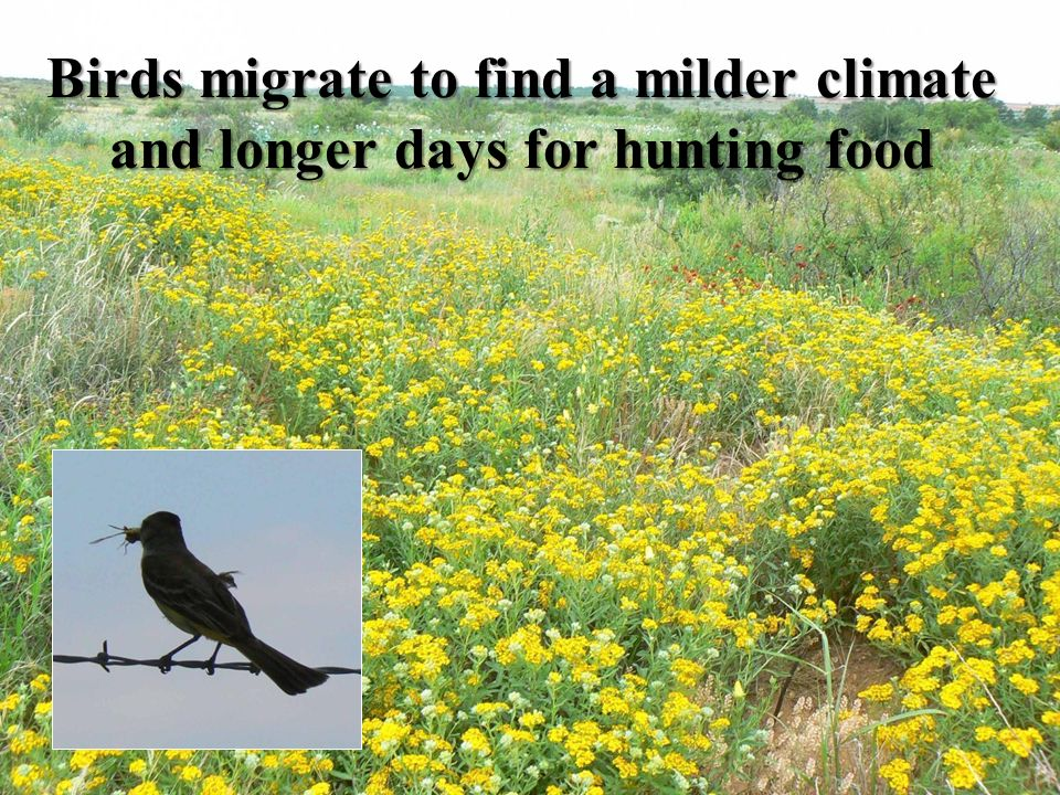Birds migrate to find a milder climate and longer days for hunting food