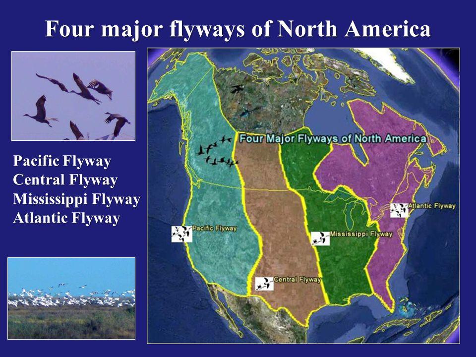 Pacific Flyway Central Flyway Mississippi Flyway Atlantic Flyway Four major flyways of North America