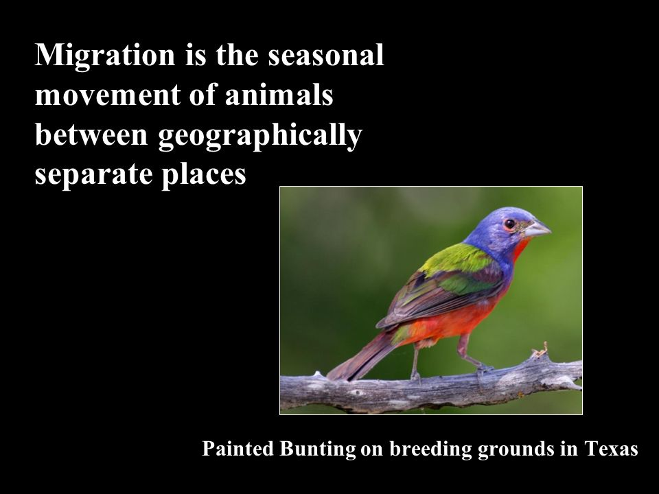 Migration is the seasonal movement of animals between geographically separate places Painted Bunting on breeding grounds in Texas