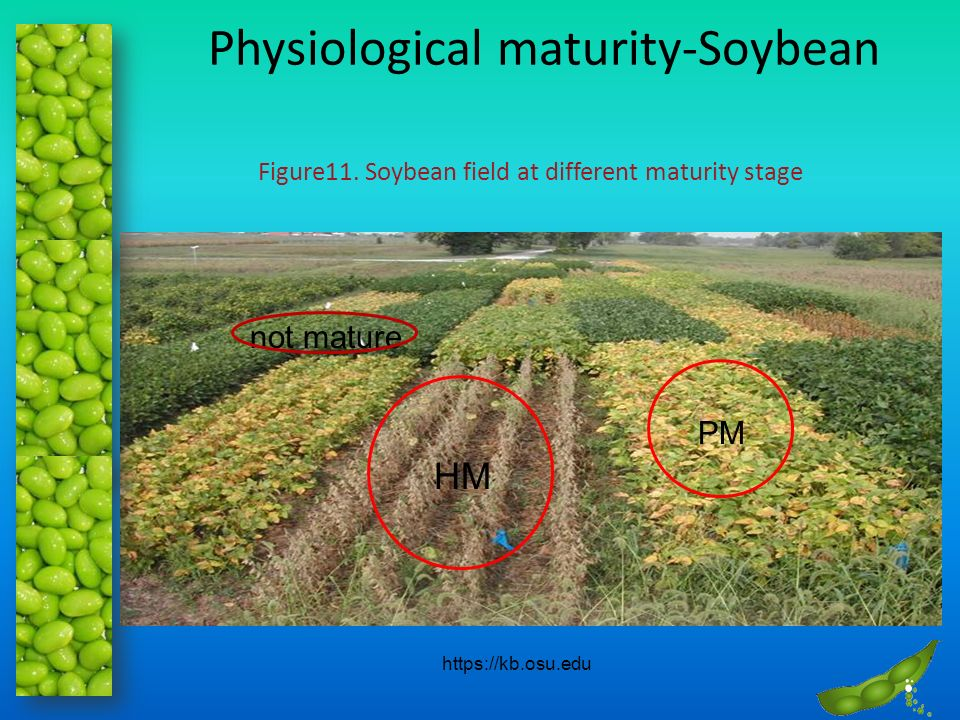 Physiological maturity-Soybean PM HM not mature https://kb.osu.edu Figure11. Soybean field at different maturity stage