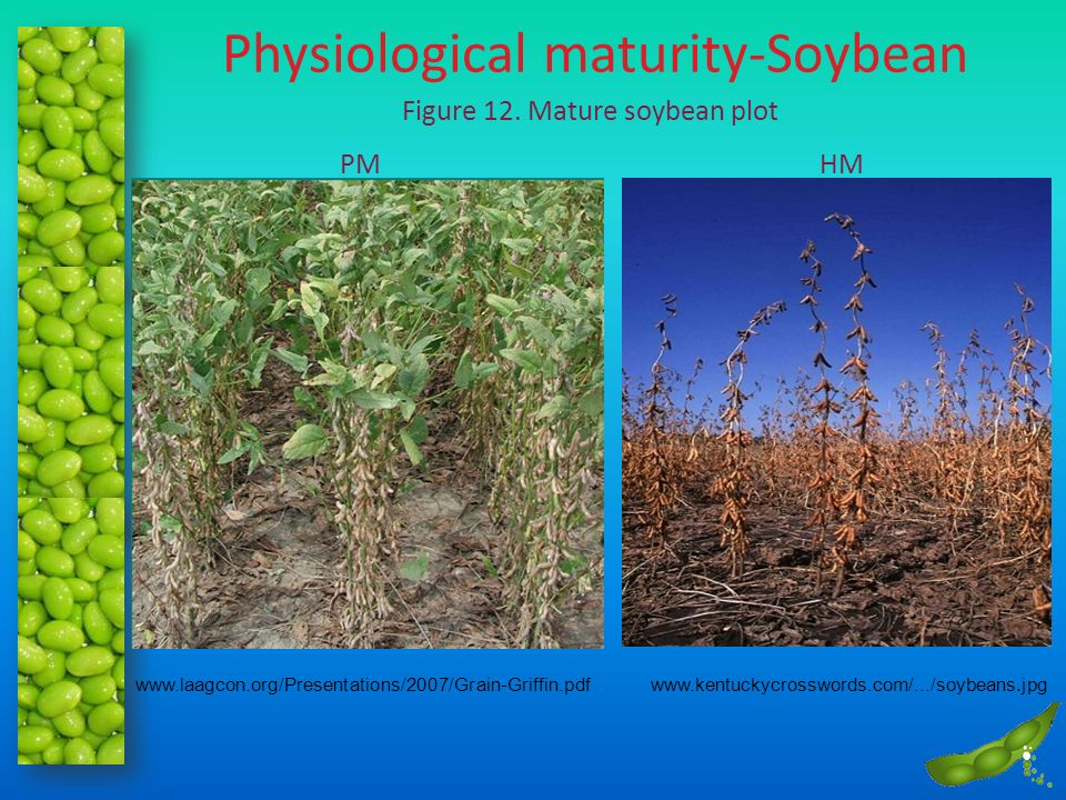 Physiological maturity-Soybean Figure 12. Mature soybean plot www.kentuckycrosswords.com/.../soybeans.jpgwww.laagcon.org/Presentations/2007/Grain-Grif