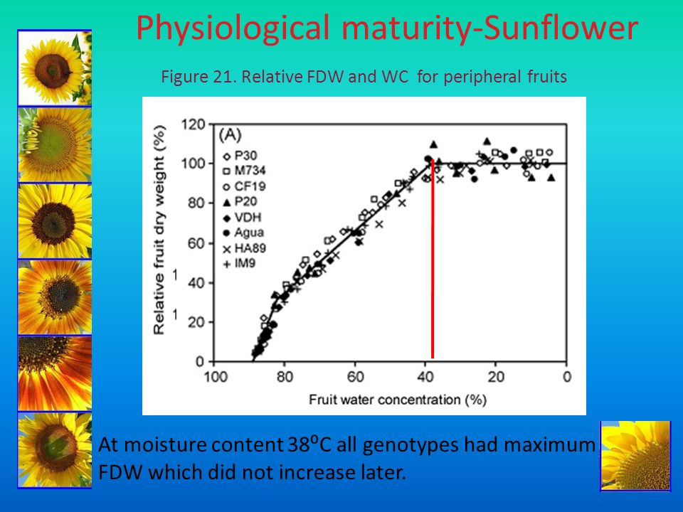 Physiological maturity-Sunflower Figure 21. Relative FDW and WC for peripheral fruits At moisture content 38C all genotypes had maximum FDW which did