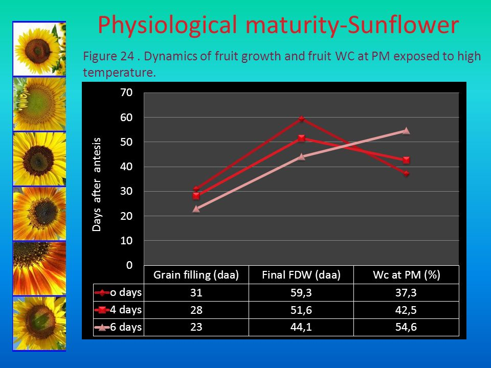 Physiological maturity-Sunflower Figure 24. Dynamics of fruit growth and fruit WC at PM exposed to high temperature.
