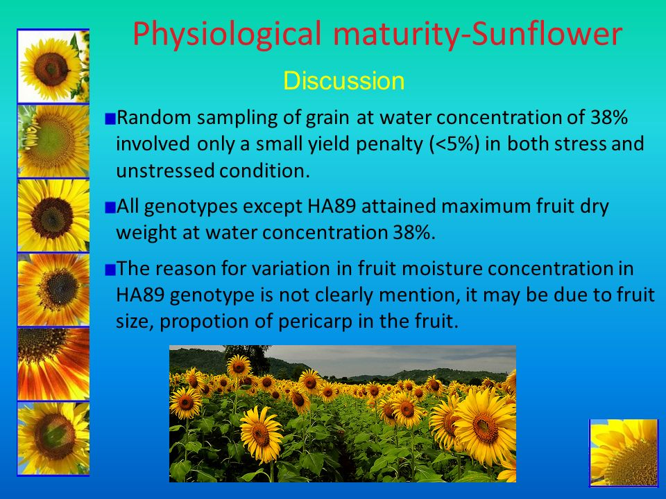 Physiological maturity-Sunflower Discussion Random sampling of grain at water concentration of 38% involved only a small yield penalty (<5%) in both s