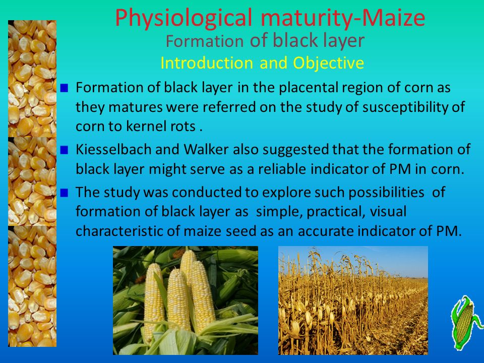 Physiological maturity-Maize Introduction and Objective Formation of black layer in the placental region of corn as they matures were referred on the