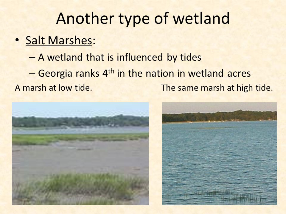 Another type of wetland Salt Marshes: – A wetland that is influenced by tides – Georgia ranks 4 th in the nation in wetland acres A marsh at low tide.