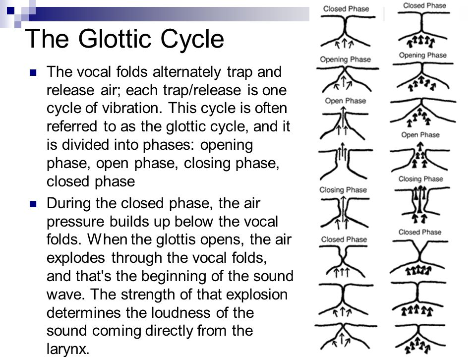 The Glottic Cycle The vocal folds alternately trap and release air; each trap/release is one cycle of vibration. This cycle is often referred to as th