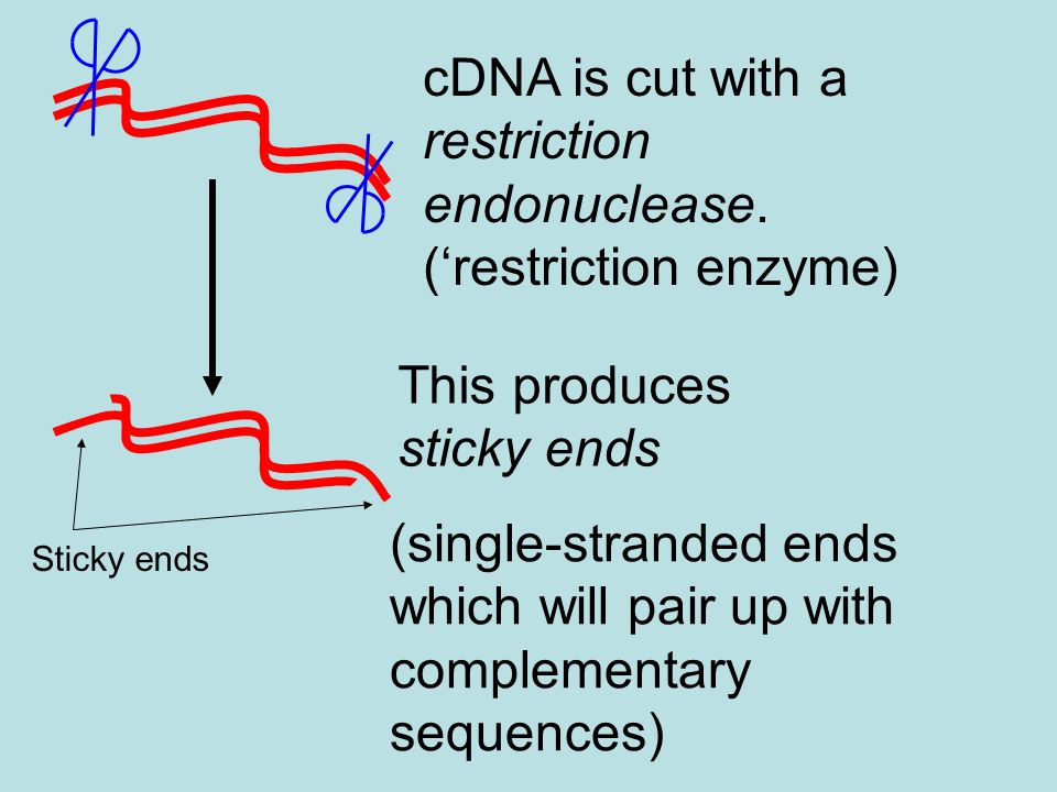 Plasmid: small loop of DNA found in bacterial cells Plasmids contain sequences of bases which signal to the cell that this DNA needs to be copied when the cell divides - the origin of replication Origin of Replication