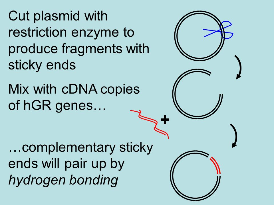 Cut plasmid with restriction enzyme to produce fragments with sticky ends Mix with cDNA copies of hGR genes… …complementary sticky ends will pair up b