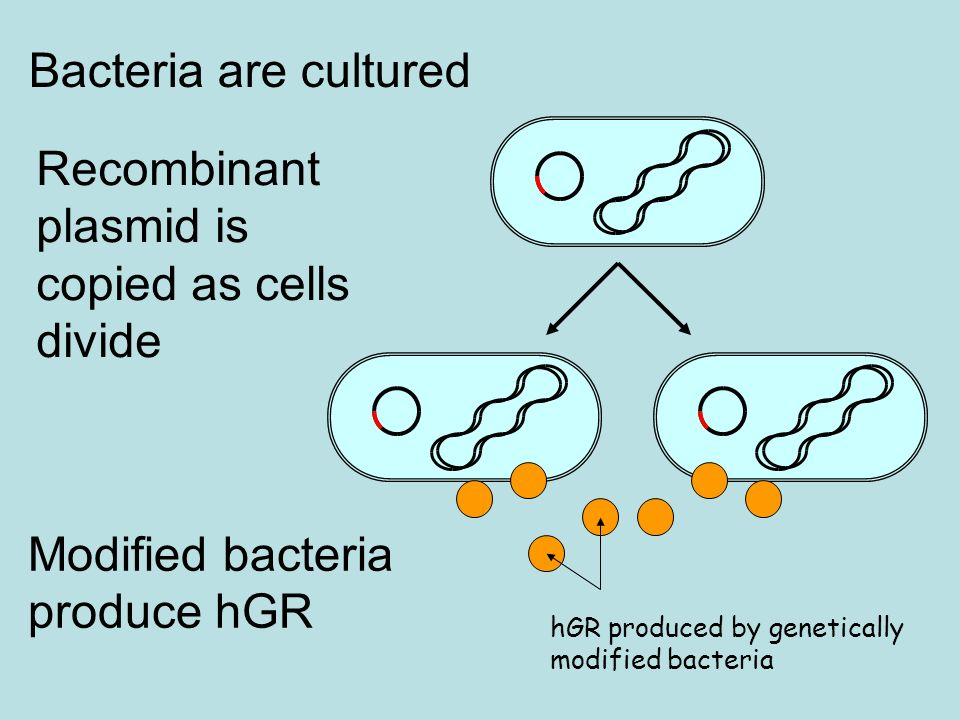 Recombinant plasmid is copied as cells divide Bacteria are cultured hGR produced by genetically modified bacteria Modified bacteria produce hGR