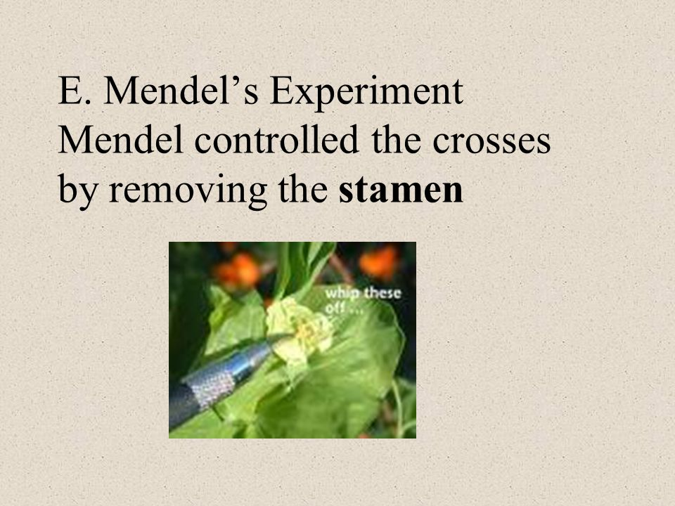 E. Mendels Experiment Mendel controlled the crosses by removing the stamen