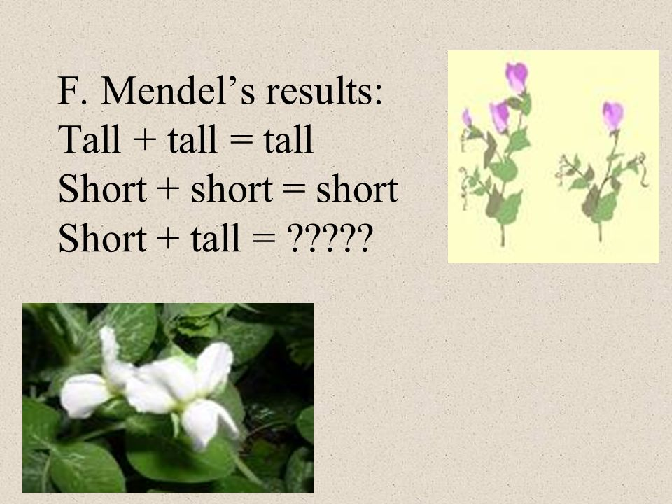 F. Mendels results: Tall + tall = tall Short + short = short Short + tall = ?????