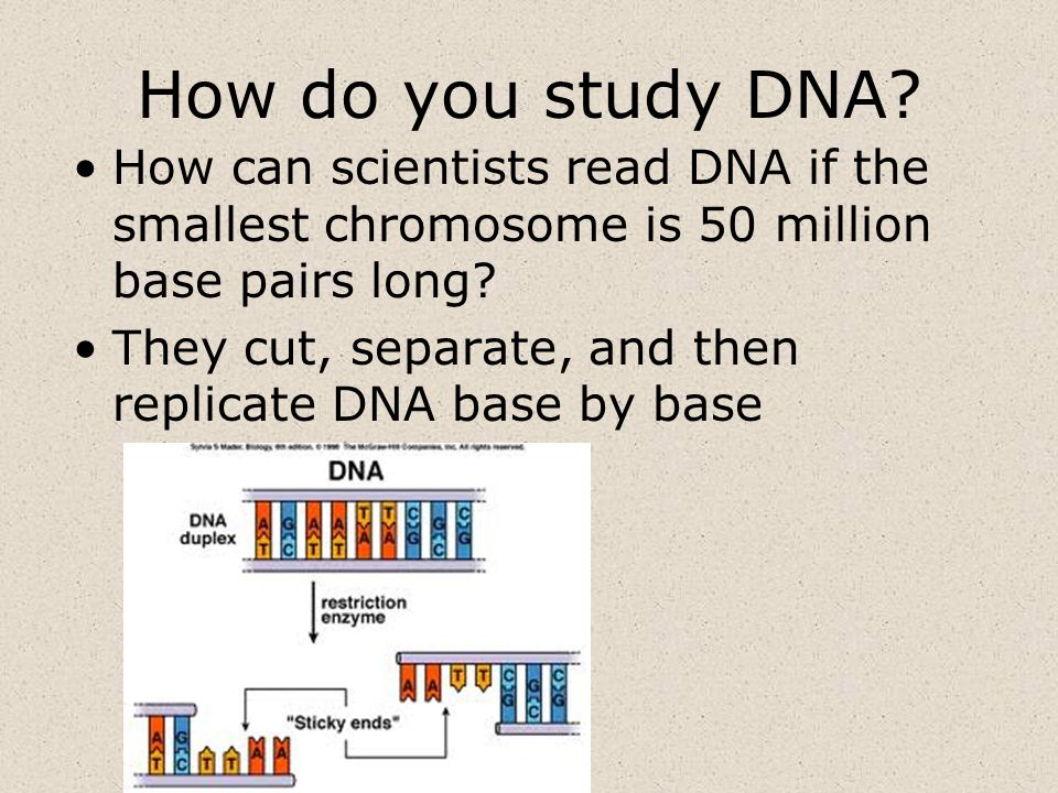 How do you study DNA? How can scientists read DNA if the smallest chromosome is 50 million base pairs long? They cut, separate, and then replicate DNA