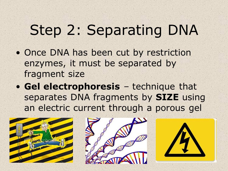 Step 2: Separating DNA Once DNA has been cut by restriction enzymes, it must be separated by fragment size Gel electrophoresis – technique that separa