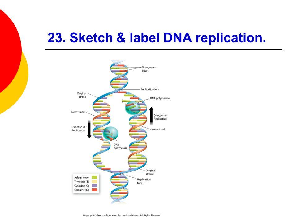 23. Sketch & label DNA replication.