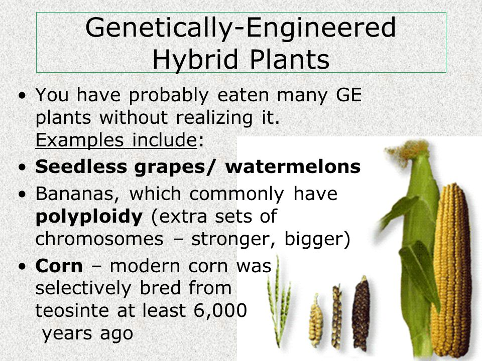 Genetically-Engineered Hybrid Plants You have probably eaten many GE plants without realizing it.
