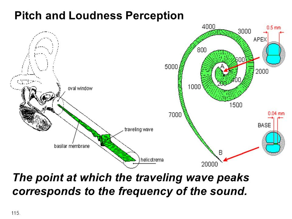 115. Pitch and Loudness Perception The point at which the traveling wave peaks corresponds to the frequency of the sound.