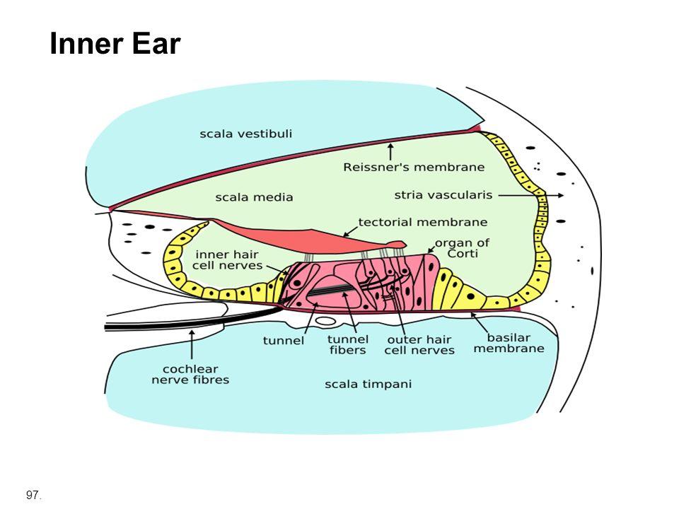 97. Inner Ear
