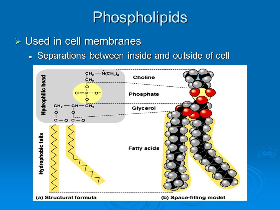 Phospholipids Used in cell membranes Used in cell membranes Separations between inside and outside of cell Separations between inside and outside of c