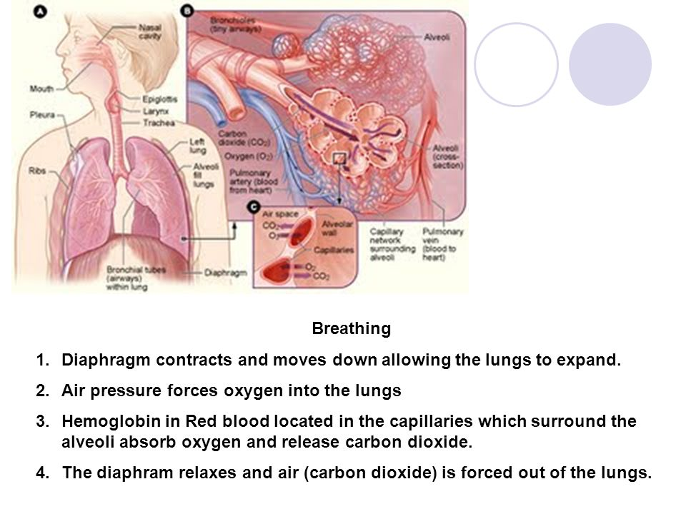 Breathing 1.Diaphragm contracts and moves down allowing the lungs to expand. 2.Air pressure forces oxygen into the lungs 3.Hemoglobin in Red blood loc
