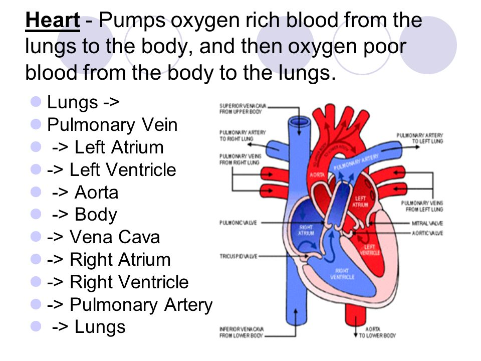 Heart - Pumps oxygen rich blood from the lungs to the body, and then oxygen poor blood from the body to the lungs. Lungs -> Pulmonary Vein -> Left Atr