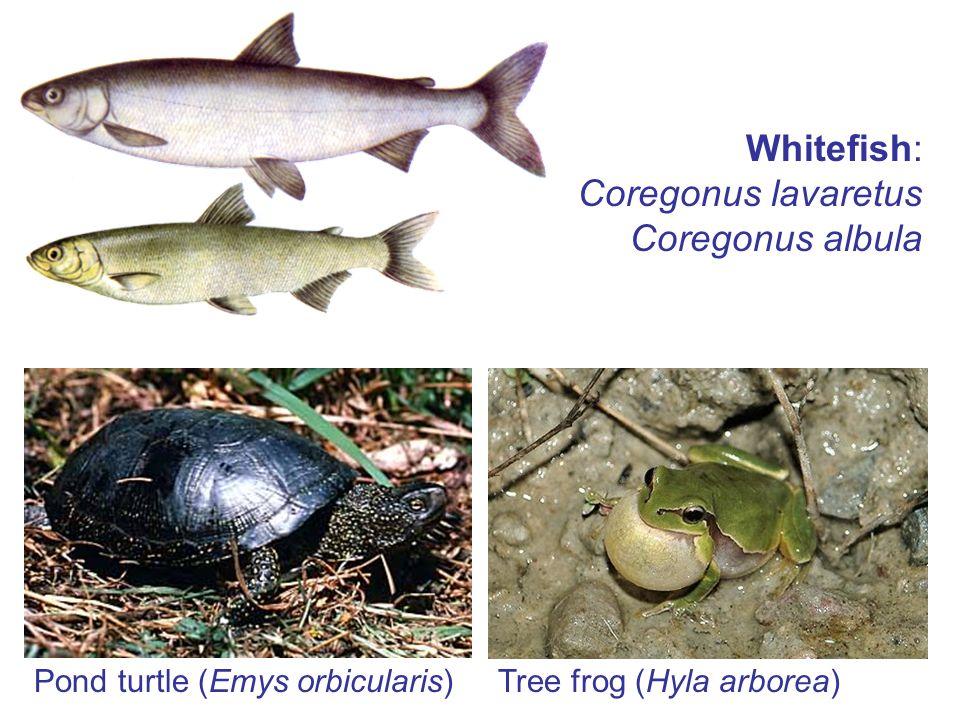 Pond turtle (Emys orbicularis) Whitefish: Coregonus lavaretus Coregonus albula Tree frog (Hyla arborea)