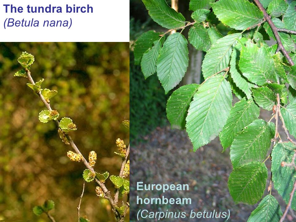 The tundra birch (Betula nana) European hornbeam (Carpinus betulus)