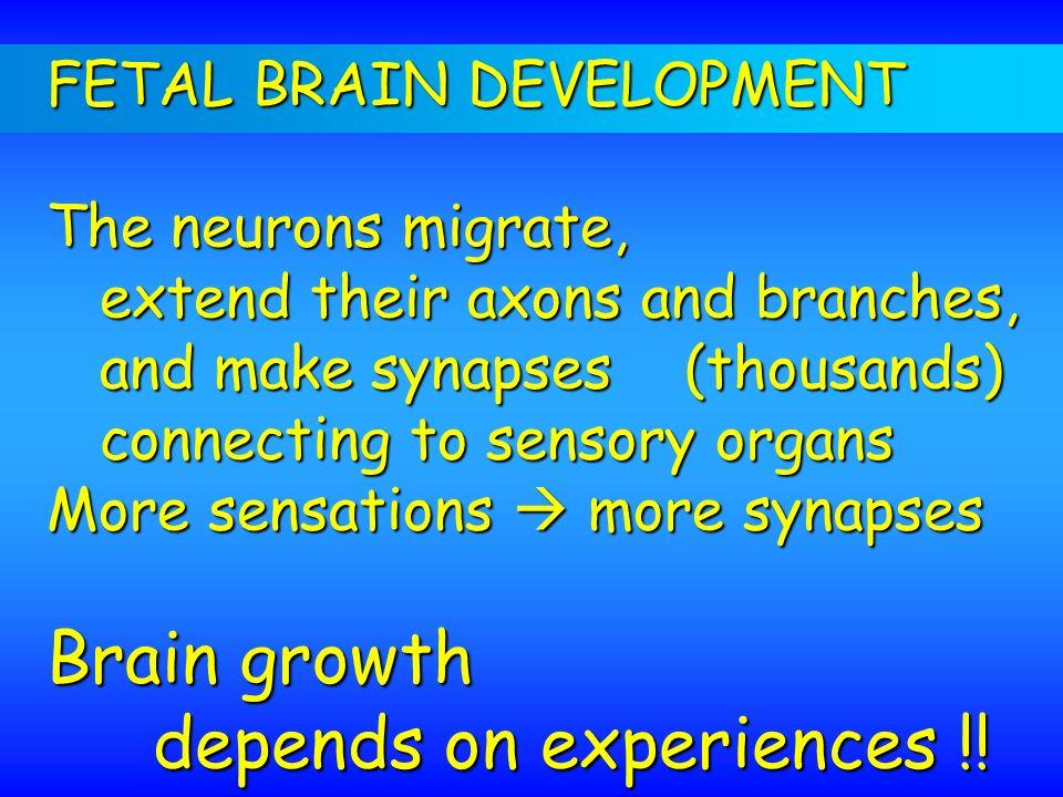 FETAL BRAIN DEVELOPMENT The neurons migrate, extend their axons and branches, extend their axons and branches, and make synapses (thousands) and make